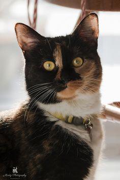 Tortie Love cat