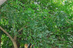 https://flic.kr/p/7oxy2o | Glochidion zeylanicum 披針葉饅頭果 | 大戟科 饅頭果屬 20009.03.14 台北植物園