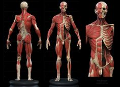 Hi Guys, What human body model shall I get for Human Anatomy reference, what is everyone using in the industry these days? 3d Anatomy, Human Body Anatomy, Anatomy Poses, Anatomy Study, Anatomy Drawing, Anatomy Sketches, Male Pose Reference, Human Reference, Anatomy Reference