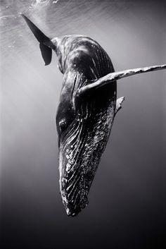 Underwater Photos by WAYNE LEVIN Wayne Levin has an ever-growing portfolio of stunning underwater photography.Wayne Levin has an ever-growing portfolio of stunning underwater photography. Under The Water, Under The Sea, Underwater Photos, Underwater Photography, Animal Photography, Nature Photography, White Photography, Photography Business, Underwater Animals