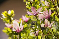 Lily magnolia (Magnolia liliiflora) is a deciduous shrub with exquisite reddish-purple or pink flowers that bloom early in the spring. Plants With Pink Flowers, White Flowers, Flowering Shrubs, Trees And Shrubs, Garden Trees, Garden Plants, Beautiful Gardens, Beautiful Flowers, Purple Lily