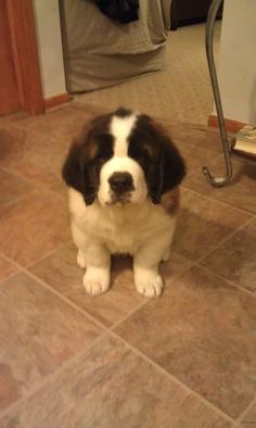 saint bernard puppy!!!! They r the best!
