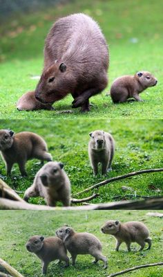 Look at These Adorable Baby Capybaras Via Belfast Zoo