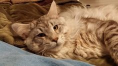 Maxi Maine Coon ( Bounding Maine)