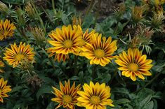 Gazania Seeds New Day Red Stripe Gazania Linearis 15 thru 200 Seeds Treasure Flower Seeds