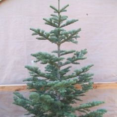 Sparse Christmas Tree Types.23 Best Xmas Tree Sparse Fir Not Bushy Images Xmas