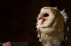 Young Barn Owl 1 by corvus2606