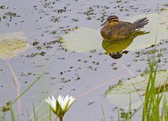 Foto marreca-de-bico-roxo (Nomonyx dominica) por Ciro Albano | Wiki Aves - A Enciclopédia das Aves do Brasil