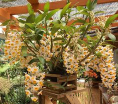 AppalachianTropicals (@AppTropicals) | Twitter Dendrobium Orchids, Cool Pictures, Canning, Twitter, Plants, Plant, Home Canning, Planets, Conservation