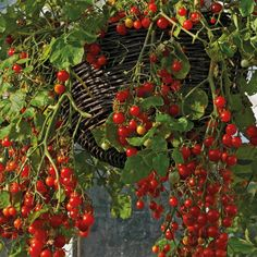 Growing tomato plants from seeds is not that difficult and it is extremely rewarding. Phenomenal Growing Tomatoes from Seeds Ideas. Growing Tomatoes From Seed, Growing Tomato Plants, Varieties Of Tomatoes, Growing Tomatoes In Containers, Growing Seeds, Grow Tomatoes, Baby Tomatoes, Growing Grapes, Growing Vegetables