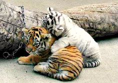 I was 10 when I had the opportunity to hold two tiger cubs. This pic brings me right back. Too cute