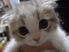 The Scottish Fold is the most well-known folded ear cat. Folded ear cats were originally called as lop-eared named after the lop-eared rabbit. Cats in Care. Baby Animals, Funny Animals, Cute Animals, Cute Kittens, Cats And Kittens, Kitty Cats, I Love Cats, Crazy Cats, Chat Kawaii