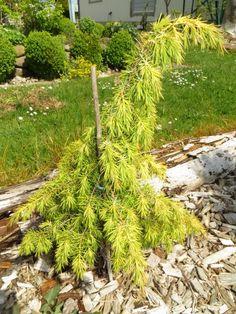Juniperus communis `Kalebab` - Google otsing Cedrus Deodara, Juniperus Communis, Outside Plants, Trees And Shrubs, Evergreen, Landscape Design, Herbs, Flowers, Beautiful