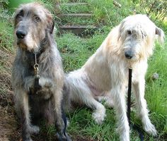 Aw...Irish Wolfhound. How can you turn down those faces?!