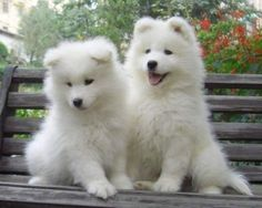Samoyeds amp collie s on pinterest samoyed rough collie and