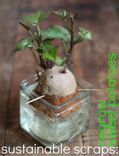 how to reGROW sweet potatoes from old ones!