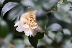 Camellia.  Have become less subject to season.  (^ _ ^ ;)