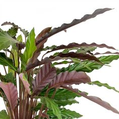 Velvet Calathea adds tropical flair, texture and height with red stems and lush green, elongated leaves.