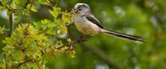 Long tailed tit collecting insects from hawthorn bush          .........Aegithalos caudatus