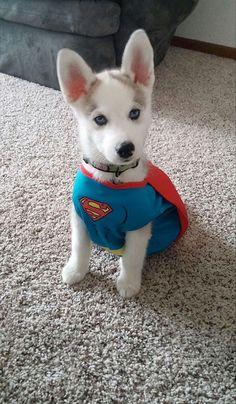 Cachorro Husky disfrazado de superman
