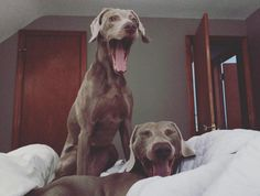 dog-yawn- quand il baille juste après nous. il nous sait détendu et signe d'apaisement