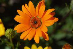 African daisies, Dimorphotheca aurantiaca
