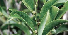 new species metal eating plant