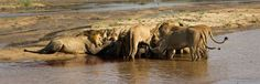 The feeding frenzy began - Gary Hill Gary Hill, Lions, Pride, Elephant, Animals, Lion, Animales, Animaux, Elephants