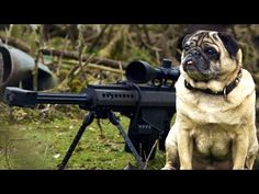 This Sniper Pug Is A Total Maverick. This Video Had Me Laughing In Tears! - Page 2 of 2 - PawBuzz