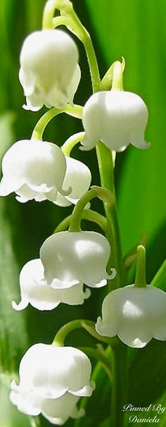 Top 10 most popular flowers - lily of the valley Birth Flowers, My Flower, White Flowers, Flower Power, Beautiful Flowers, Lilly Flower, Flor Magnolia, Most Popular Flowers, White Gardens