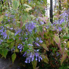 RABDOSIA longituba : Plante originaire du nord de l'Asie et plus précisément des montagnes japonaises de Honshu, Shikoku, et Kyushu. Genre fort intéressant mais encore méconnu.  Belle tenue de la touffe de feuillage vert clair, caduc. Fleurs nombreuses bleu clair. Son époque de floraison est un atout pour décorer les massifs de fin d'automne. A installer en sol frais à mi-ombre.