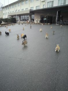 super kawaii! an island full of bunnies: yes, it exists! only in japan!  the real ' night of the lepas'