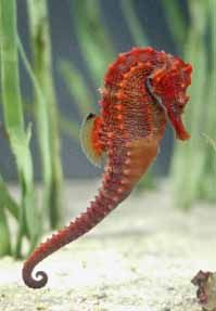 Tampabay: Where are all the seahorses?