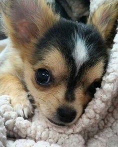 Chihuahua Puppies, Cute Puppies, Cute Dogs, Dogs And Puppies, Doggies, Cute Baby Animals, Funny Animals, Cute Animal Pictures, Dog Pictures