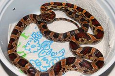 Abbott's Okeetee, 50% het Amel Amphibians, Reptiles, Cool Snakes, Cool Stuff