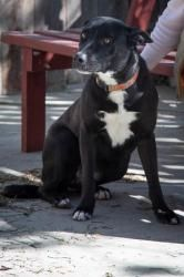 Bella is an #adoptable Border Collie Dog in #Tracy, #CALIFORNIA. Sweet and shy Bella is a black with white Border collie/Lab mix. Bella is about 3 years old. So far she is not getting along with other female dog...