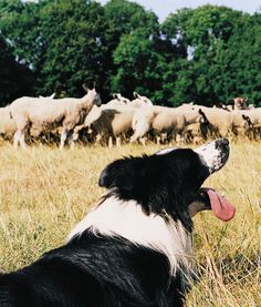 One very happy Border Collie. Ah, job well done. Love that border collie tongue Farm Dogs, Sheep Farm, Sheep Dogs, Herding Dogs, Collie Dog, Border Collies, Dogs And Puppies, Doggies, Mans Best Friend