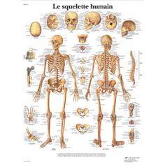 Planche anatomique Le squelette humain VR2113UU