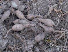 Ασφόδελος. Asphodelus aestivus ή microcarpus Carrots, Vegetables, Food, Carrot, Meal, Eten, Vegetable Recipes, Meals, Veggies