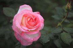 gentle colored rose. | por cate♪