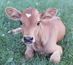 Baby Jersey cow - would love to raise a cow too. Fresh milk (and cheese and butter), plus I just think they are beautiful. Cute Baby Animals, Farm Animals, Wild Animals, Beautiful Creatures, Animals Beautiful, Beautiful Eyes, Baby Cows, Baby Elephants, Cute Cows