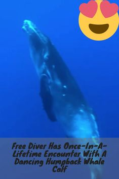Free Diver Has Once-In-A-Lifetime Encounter With A Dancing Great Humpback Whale Calf Free Diver Has Once-In-A-Lifetime Encounter With A Dancing Great Humpback Whale Calf Dog Clicker Training, Funny Boxer, Cat Behavior, Humpback Whale, Cat Life, Dog Friends, Cute Animals, Baby Animals, Funny Animals