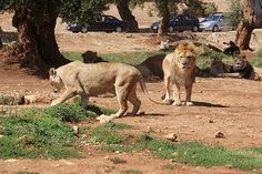 Safari Zoo in Fasano, Puglia Italy. You can drive through the lion territory in your own car!  a total adrenaline rush!