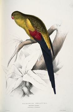 """From """"Illustrations of the Family of Psittacidae, or Parrots"""" (1832) by Edward Lear (1812-1888)"""