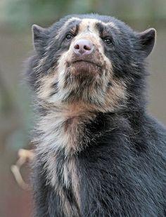 Animals And Pets, Baby Animals, Funny Animals, Cute Animals, Baby Pandas, Spectacled Bear, Teddy Bear Cartoon, Bear Art, Big Bear