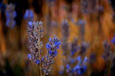 Lavender by Necm Gün on 500px