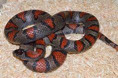 San Luis Potosi Kingsnake, het Albino Cool Snakes, Beautiful Snakes, Mobile Art, Colour Pallette, Reptiles And Amphibians, Albino, King, Future, Pets