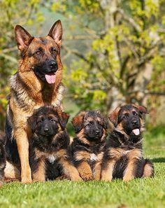 German Shepherds Puppy Dogs