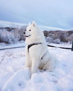Samoyed enjoying the winter. Cute Funny Animals, Cute Baby Animals, Animals And Pets, Fluffy Dogs, Fluffy Animals, Samoyed Dogs, Cute Dogs And Puppies, Doggies, Best Dog Breeds