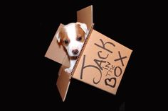Jack in the Box. Jack Russell Terrier Puppy in a box. :)